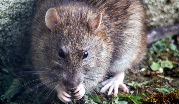 4 Ways to Protect Your Home from Rodents rat