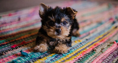 A Guide to Caring For Your First Puppy main