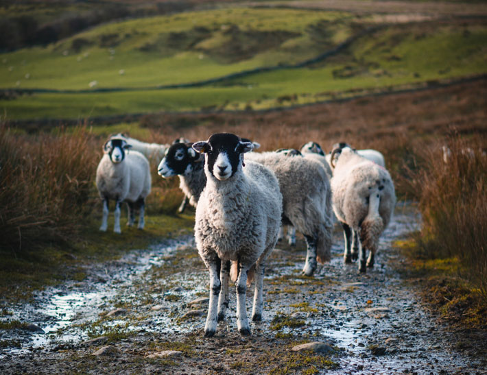 A Walk Through Upper Swaledale and Kidson sheep