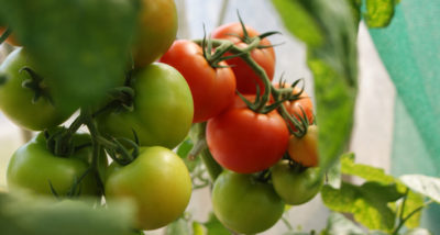 Growing Your Own Fruit and Vegetables main