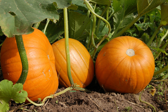 Growing Your Own Fruit and Vegetables pumpkin patch