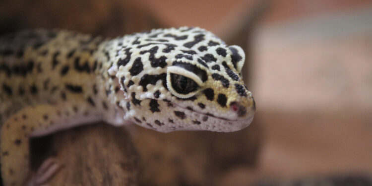 How To Take Care Of A Leopard Gecko main