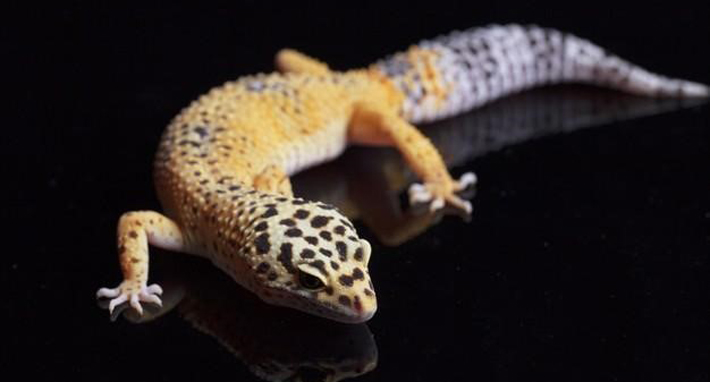 How To Take Care Of A Leopard Gecko pets