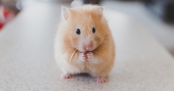How To Take Great Care Of Your hamster cute
