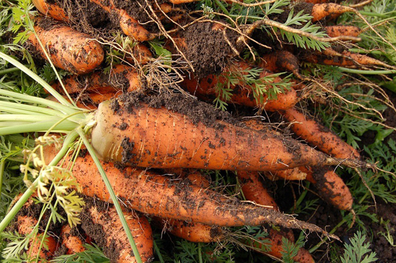 Most Bizarre Things Found Buried in Gardens Wedding Ring on carrot