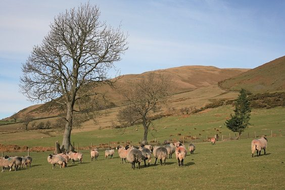 Sedbergh and River Rawthey walk yorkshire dales sheep