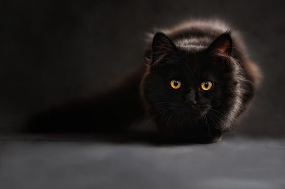 Seven Things to Consider Before Rescuing a Cat black
