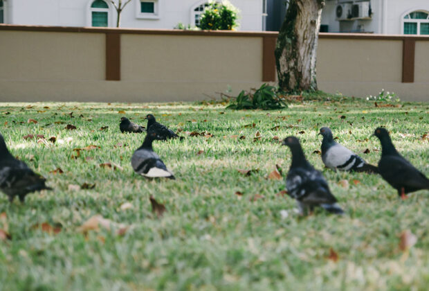 Where to Find Humane Pigeon Control Methods to Work main