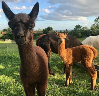 beacon alpacas review day out v2