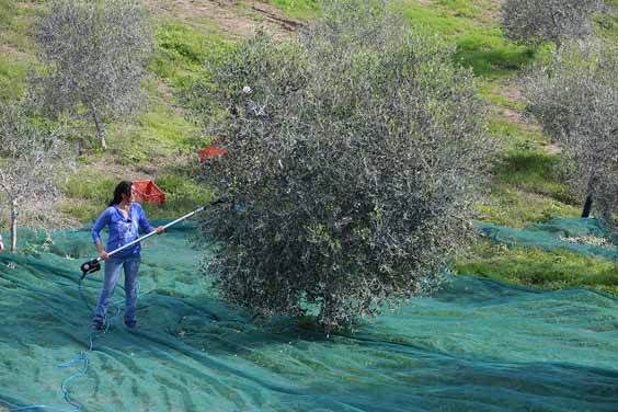 olive oil evoo tips and advice harvesting a tree