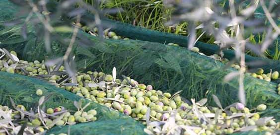 olive oil evoo history