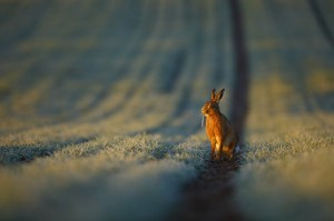 Frosty Hare