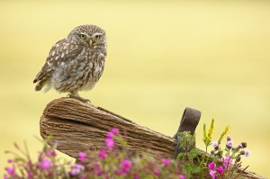 Little Owl and Little Bee